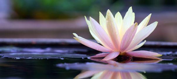 fleur-de-lotus_4814300